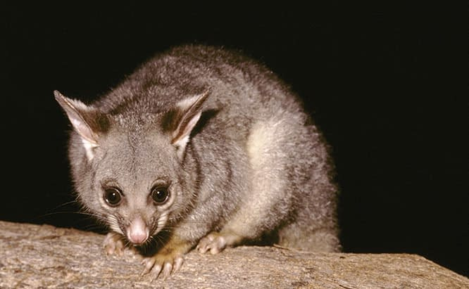 Possum Removal Roof Cavity Sydney / Wollongong